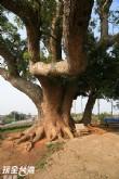老樟母女樹