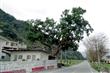 卓清村天主堂旁的老樟樹