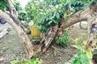 北埔樹林角玉蘭花老樹