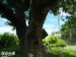 下坪百年老荔枝樹