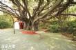 百年老榕樹