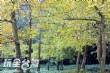 大崙山觀光茶園(銀杏森林、銀杏林觀光茶園)