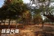 南投猴探井落羽松森林