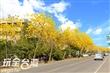 芬園台14丁線.黃花風鈴木花季