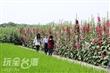 南區公園蜀葵花