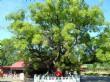 大樟樹(大眾爺祠)