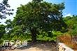 茄苳神木老樹