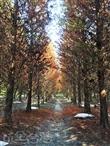 九芎林落羽松祕境