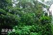 深坑母子樹