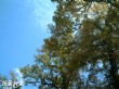 楓香巨木群